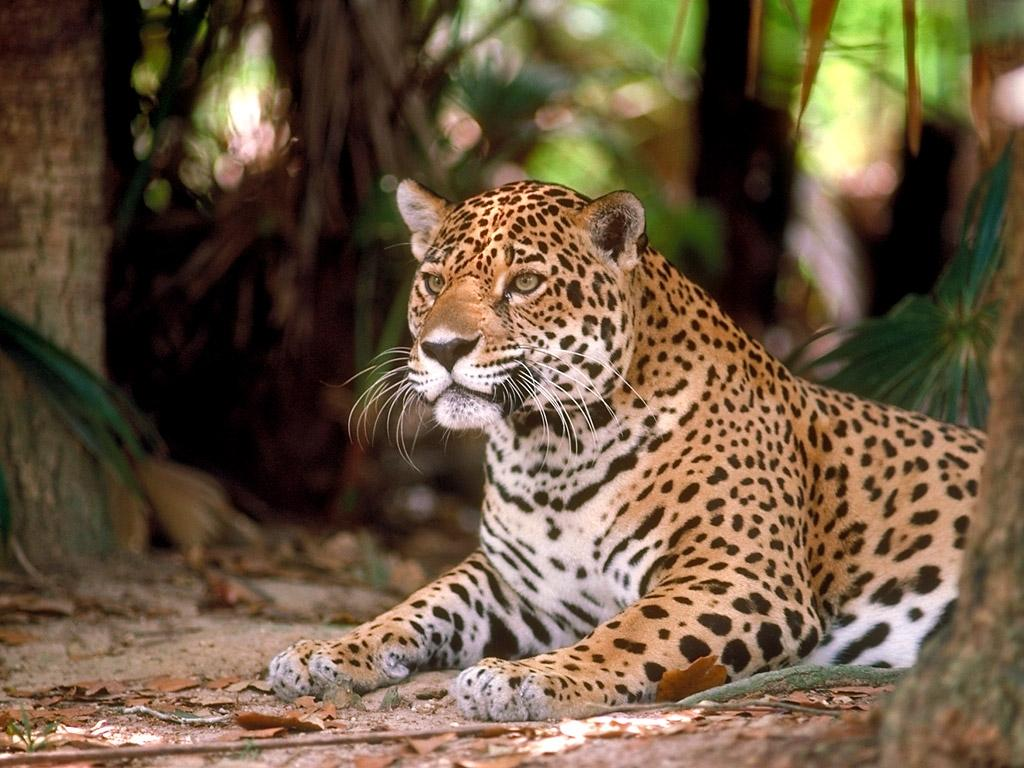 Картинки на рабочий стол Леопарды