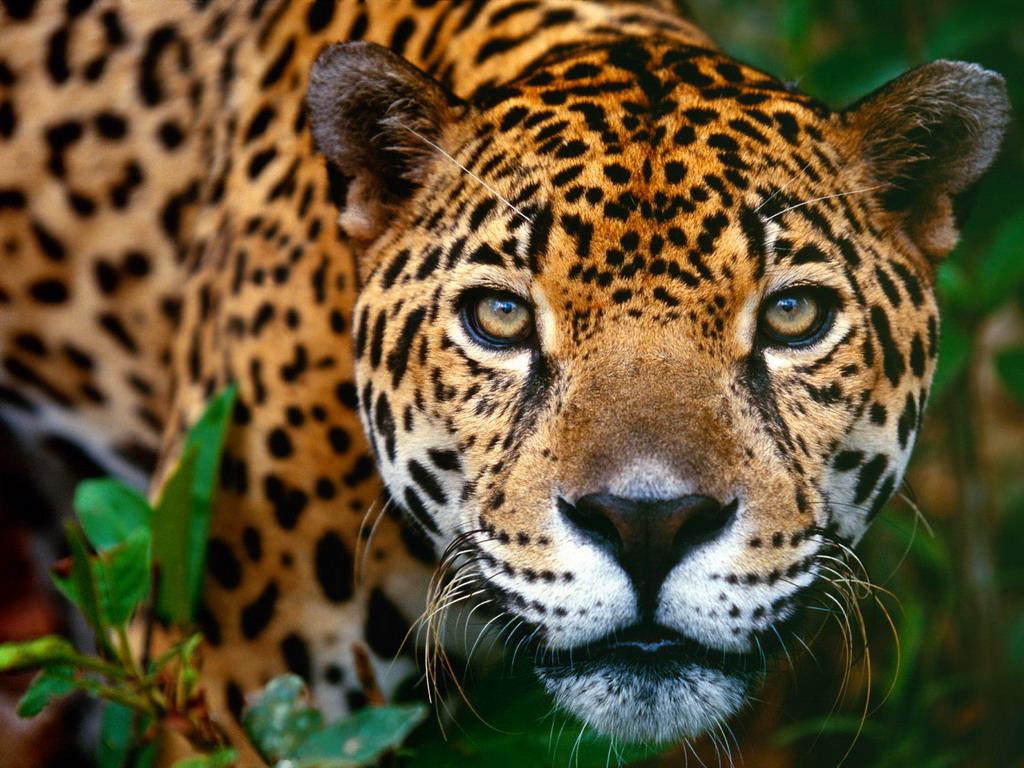 Картинки Леопарды