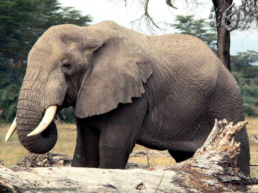 Бесплатно Слоны обои