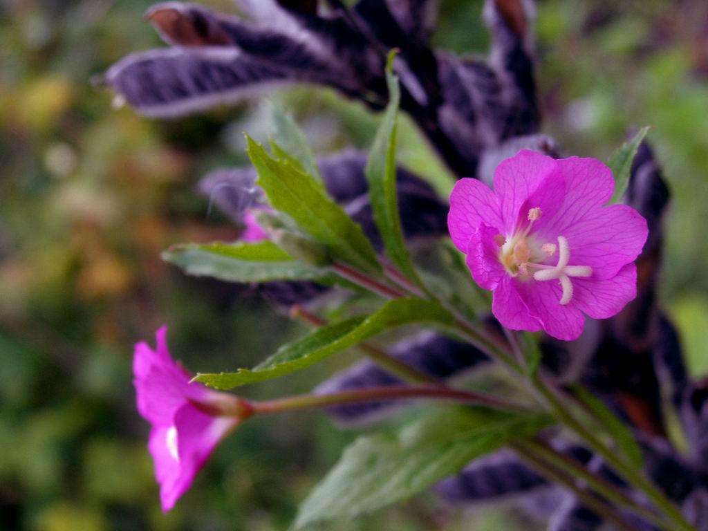 Цветы медуница лесная