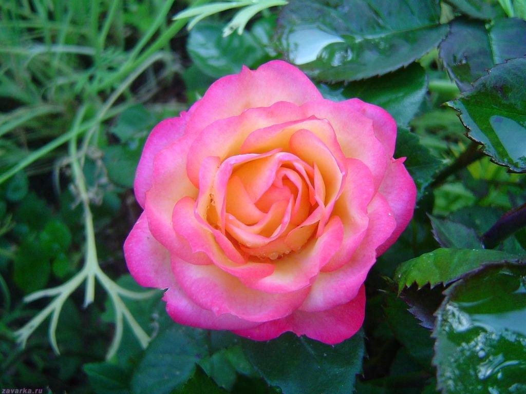 Роза чей это цветок