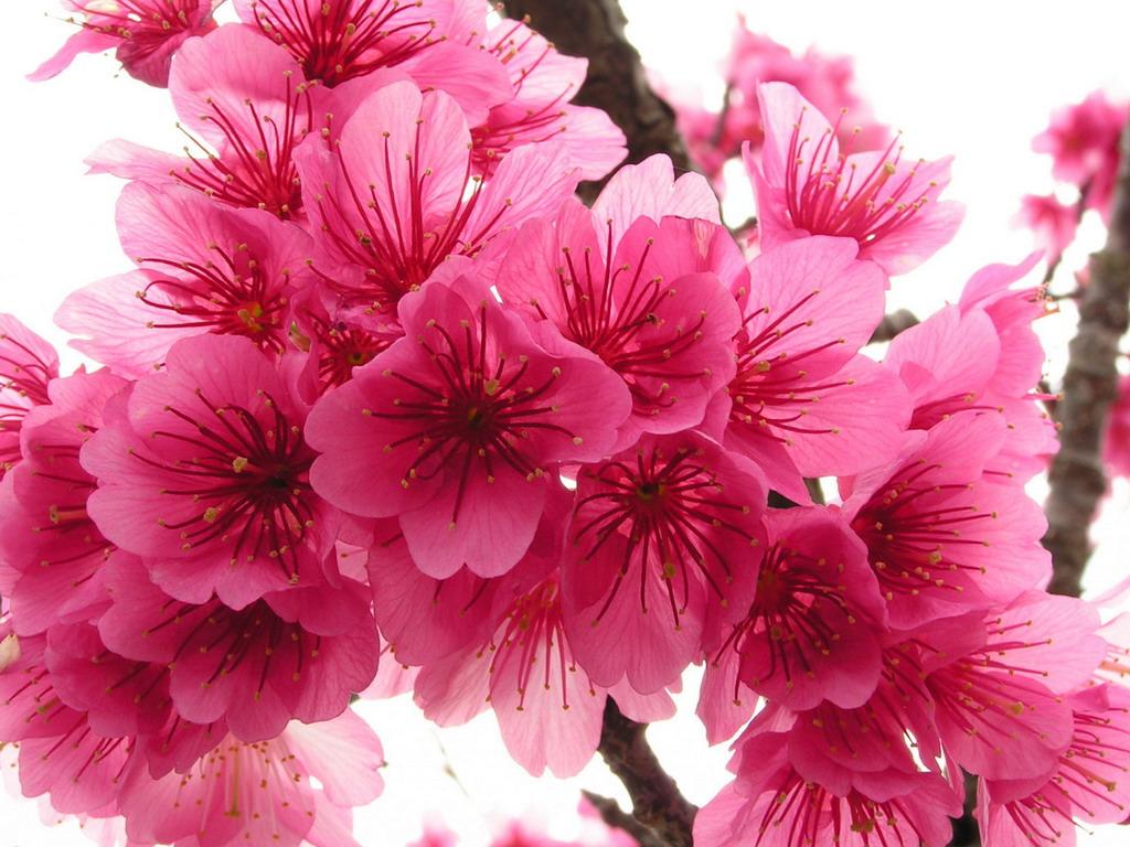 Цветы весны на ветке дерева обои