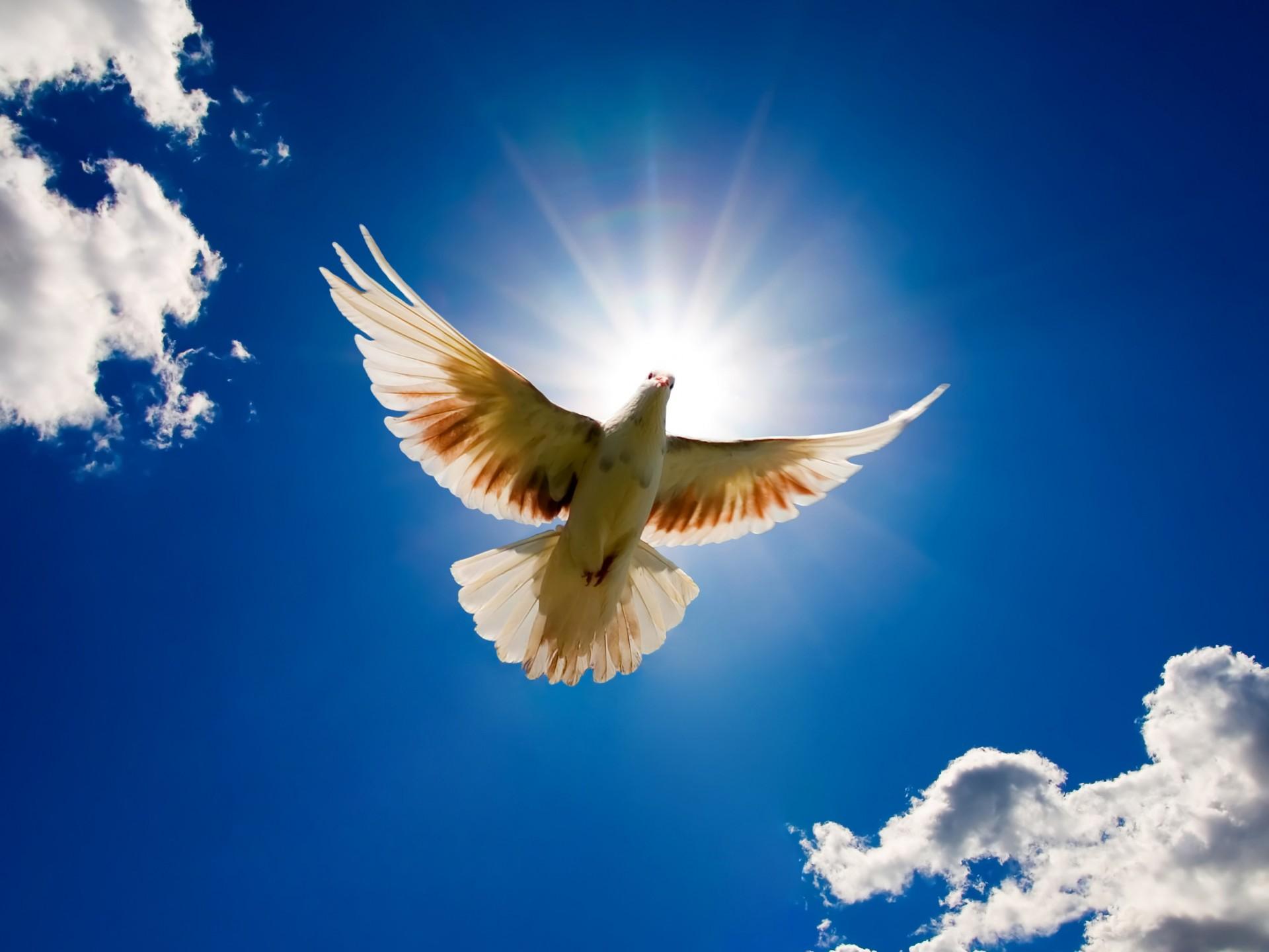 голубь в небе, красивые обои