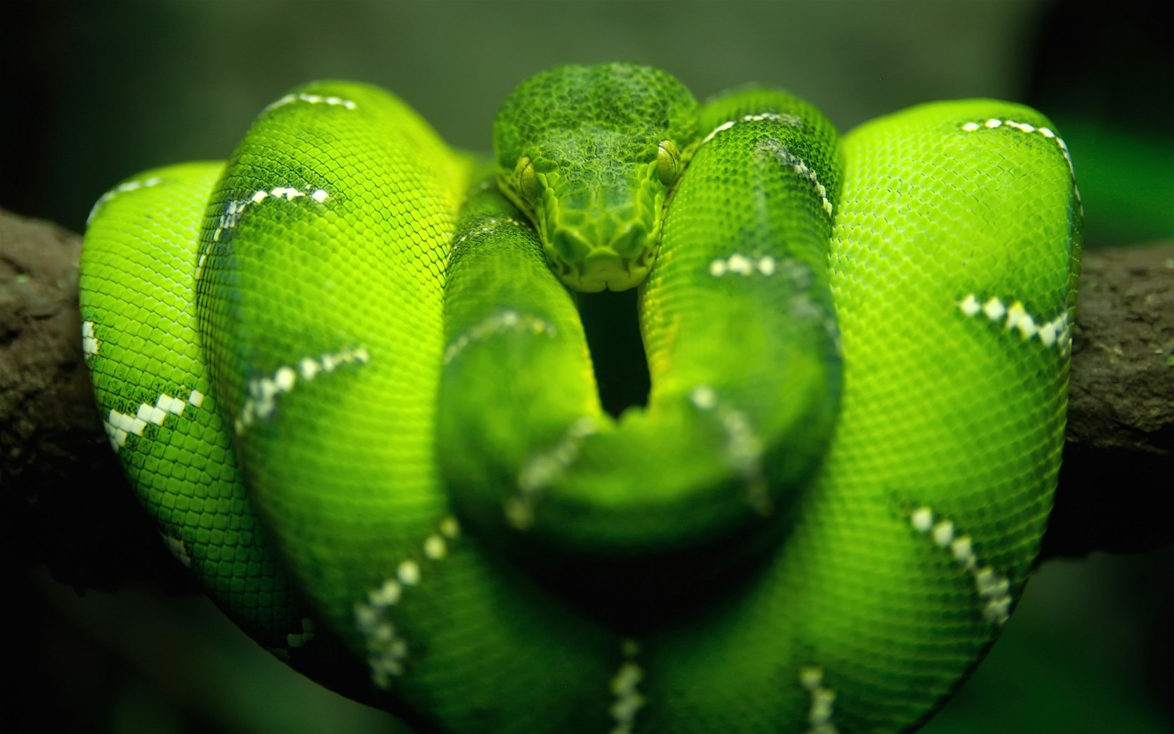 Зеленый питон обои