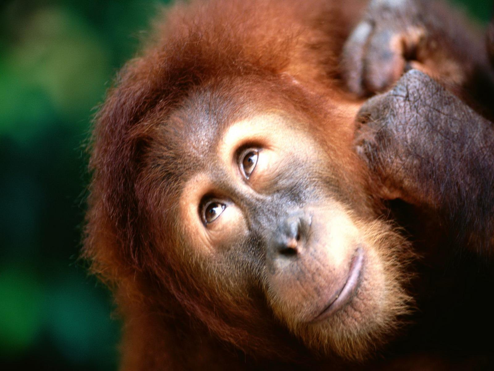 Шимпанзе обои