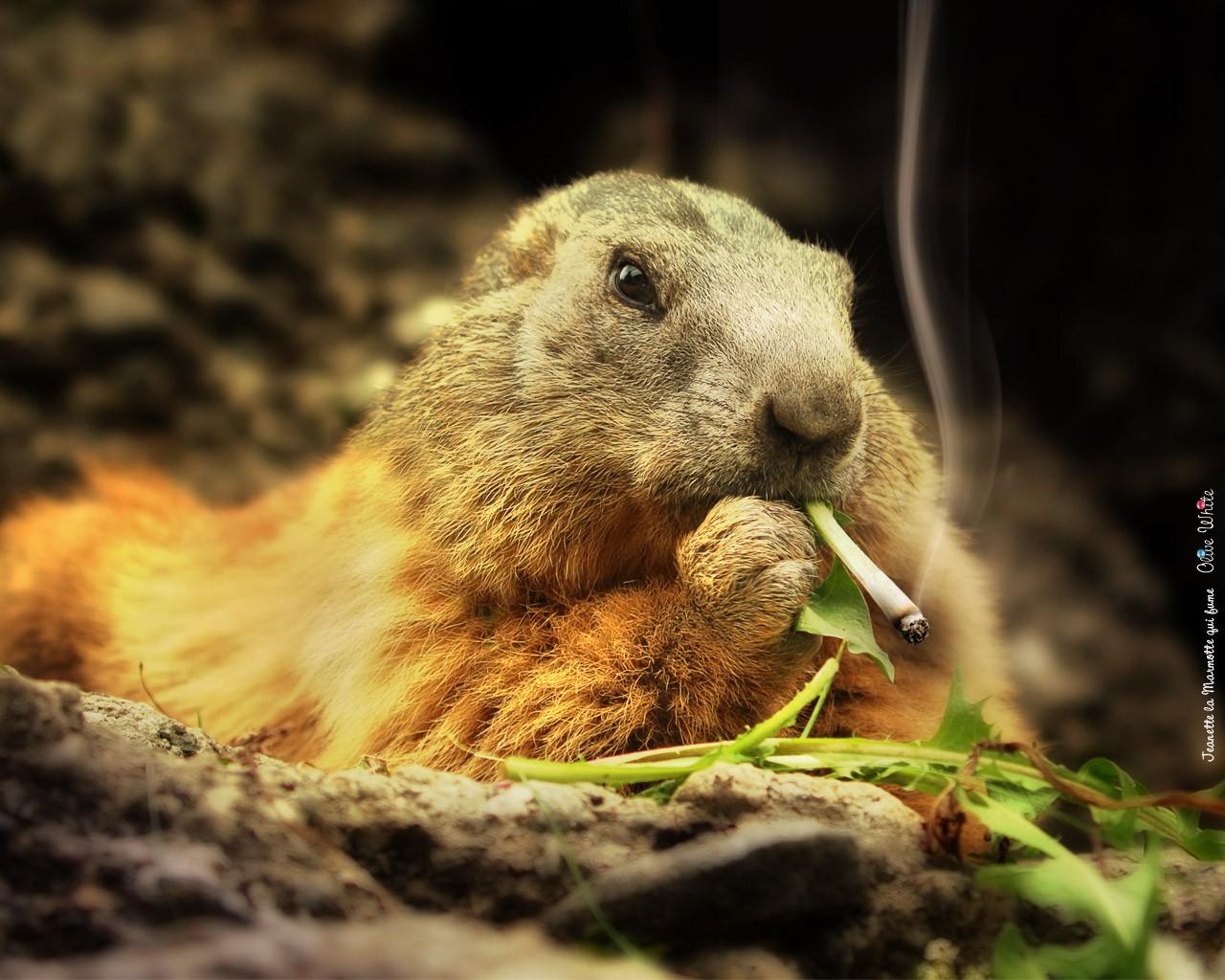 Животное с сигаретой - обои