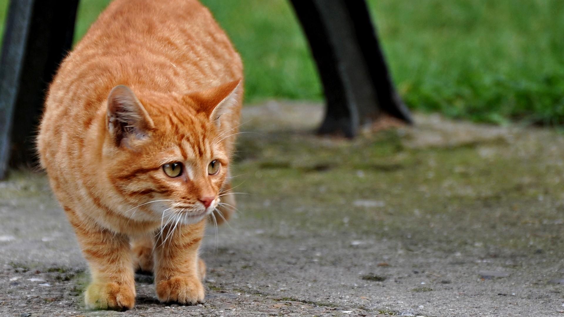 Обои 1920x1080 рыжий кот картинки и обои