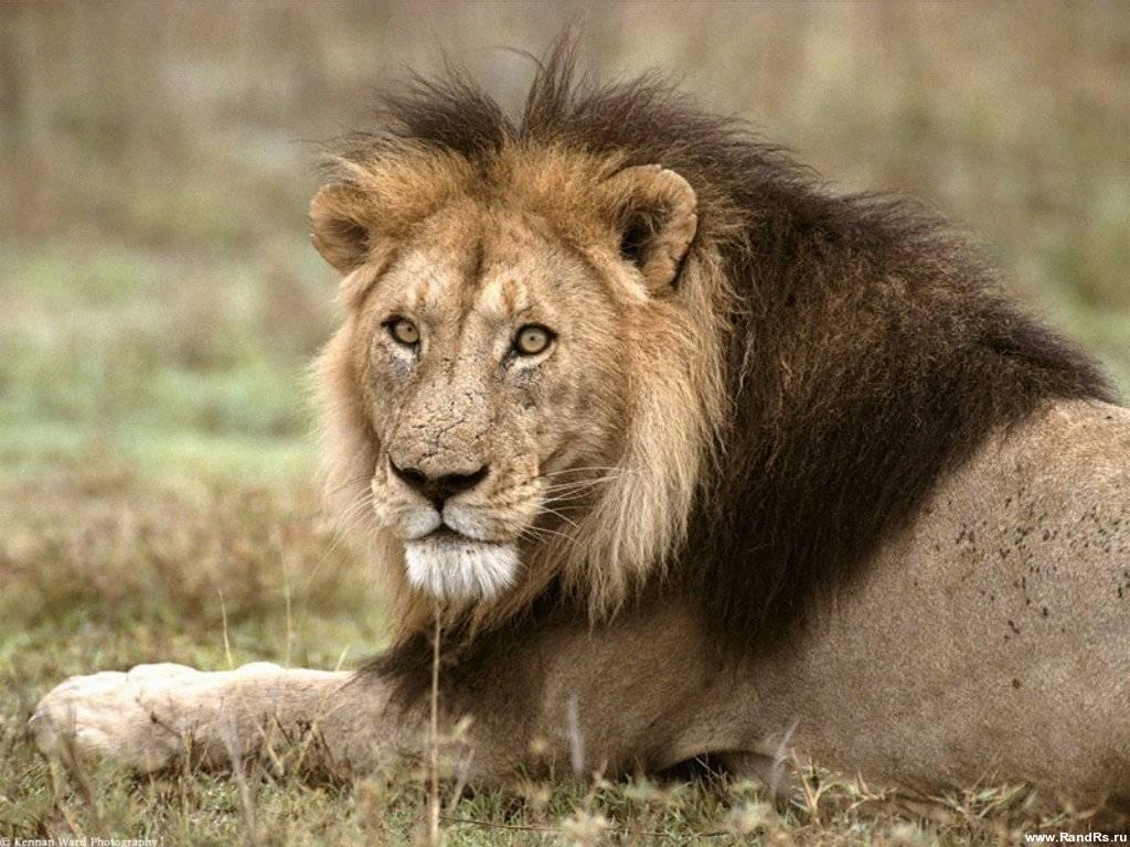 Фото льва изменить рабочий стол обои