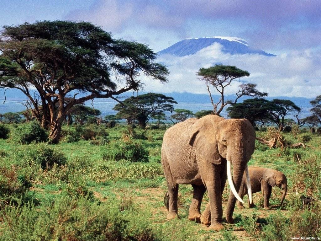 Широкоформатные обои Слоны
