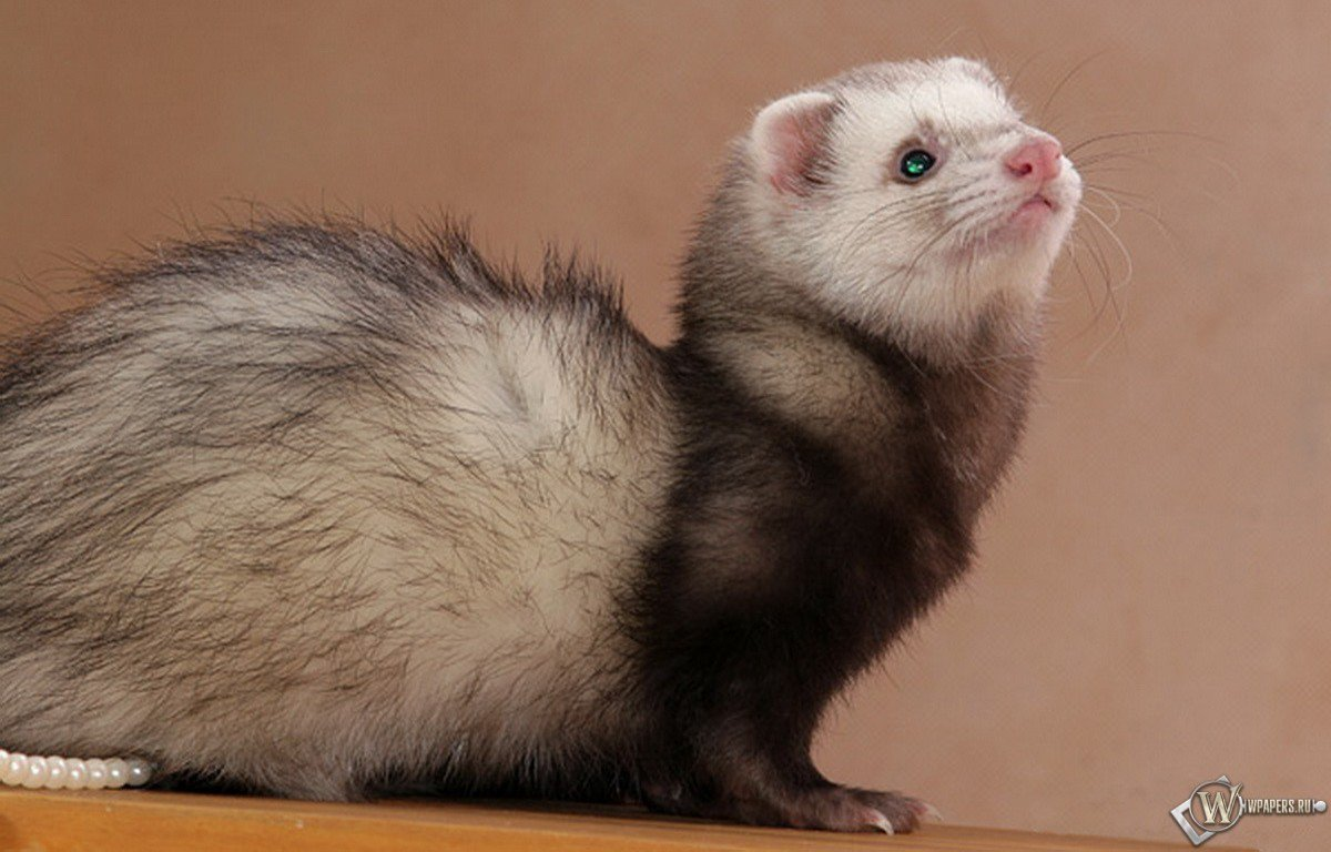 ferret face wallpaper background - photo #9