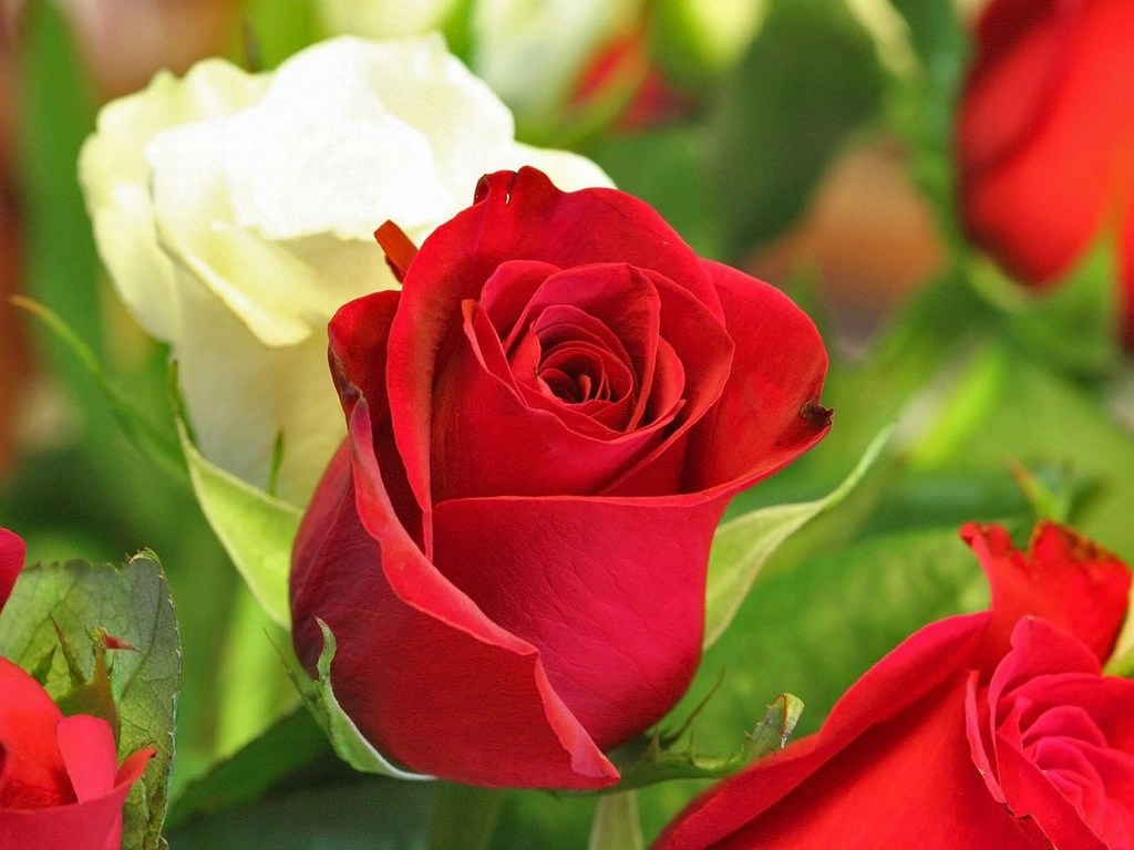 Красные и белые розы обои
