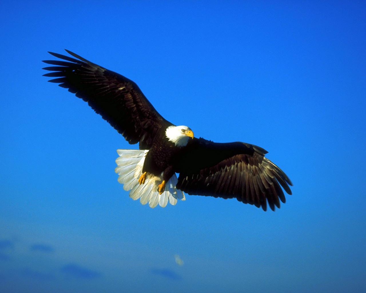 Парящий орел новейшие обои