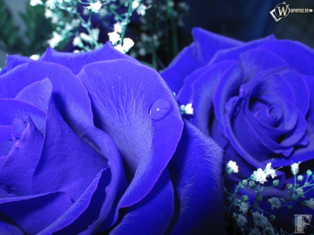 Картинки синие розы букеты большие и красивые - ee8
