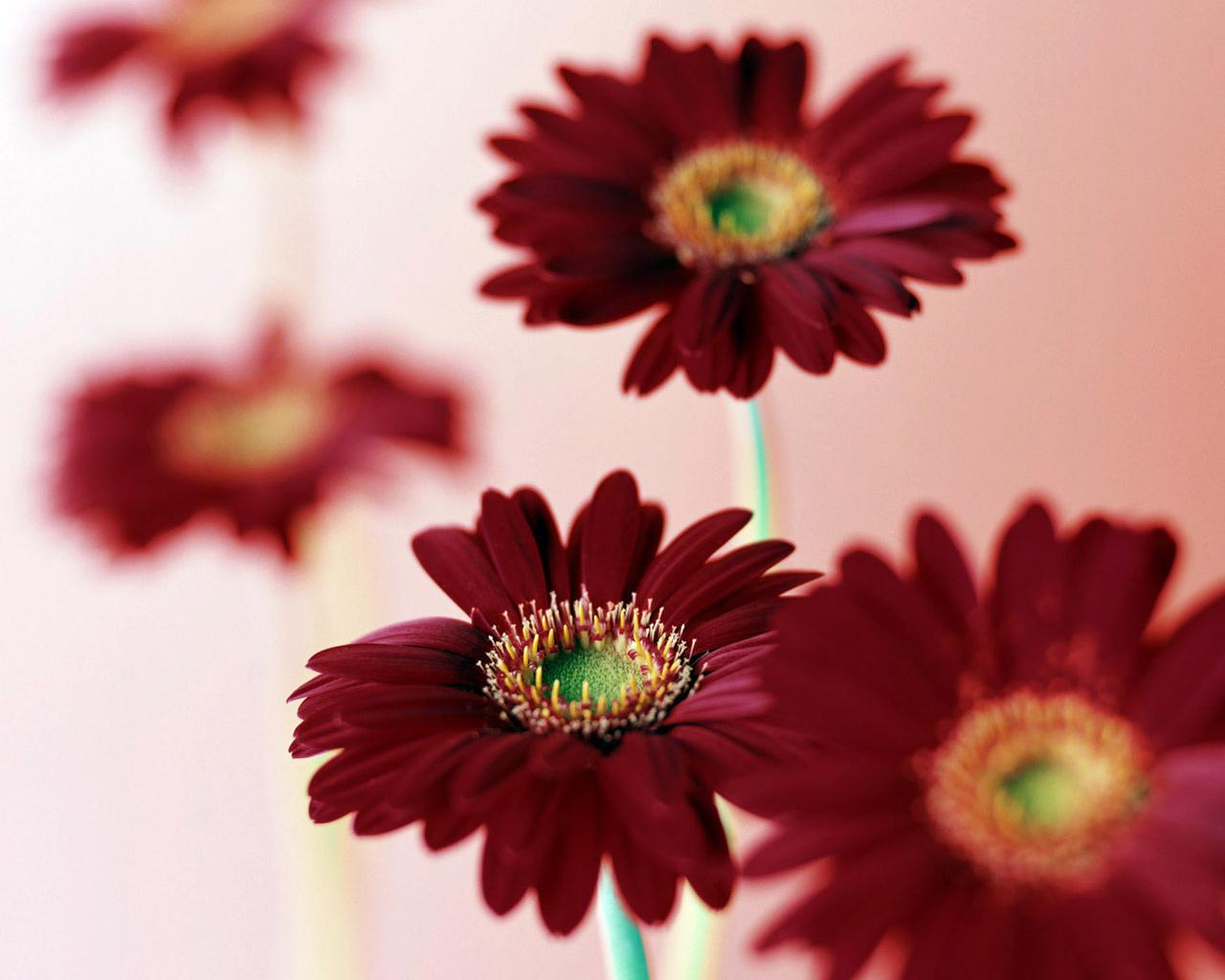 Фото с бордовыми цветами