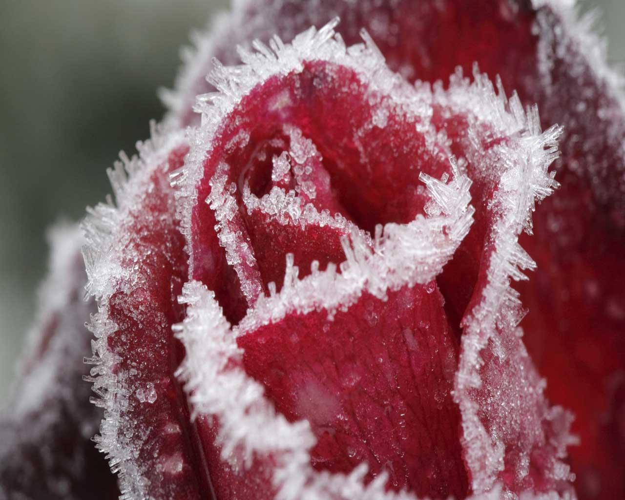 Картинка роза в снегу на компьютер, новые обои