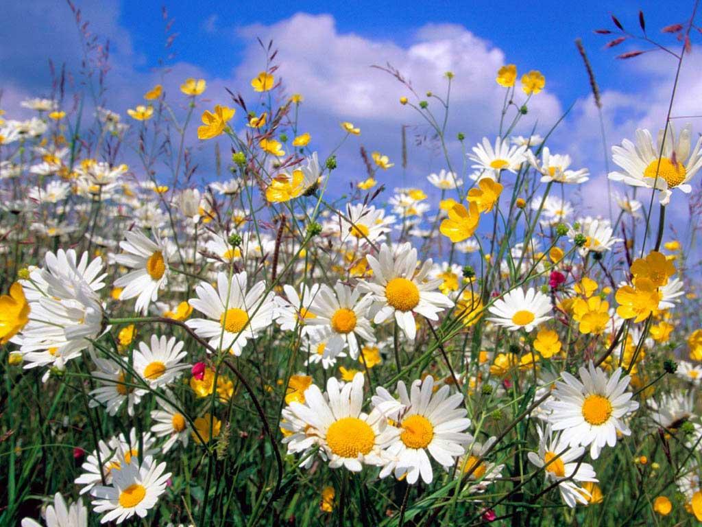 Полевые цветы обои