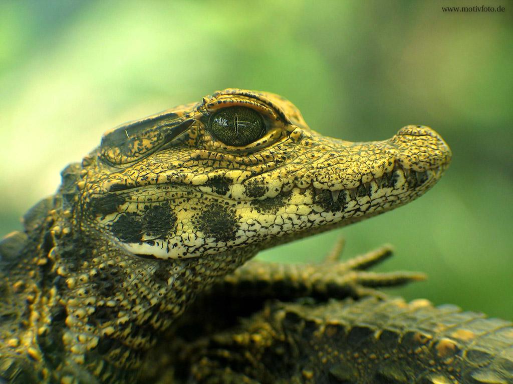 Крокодильчик обои