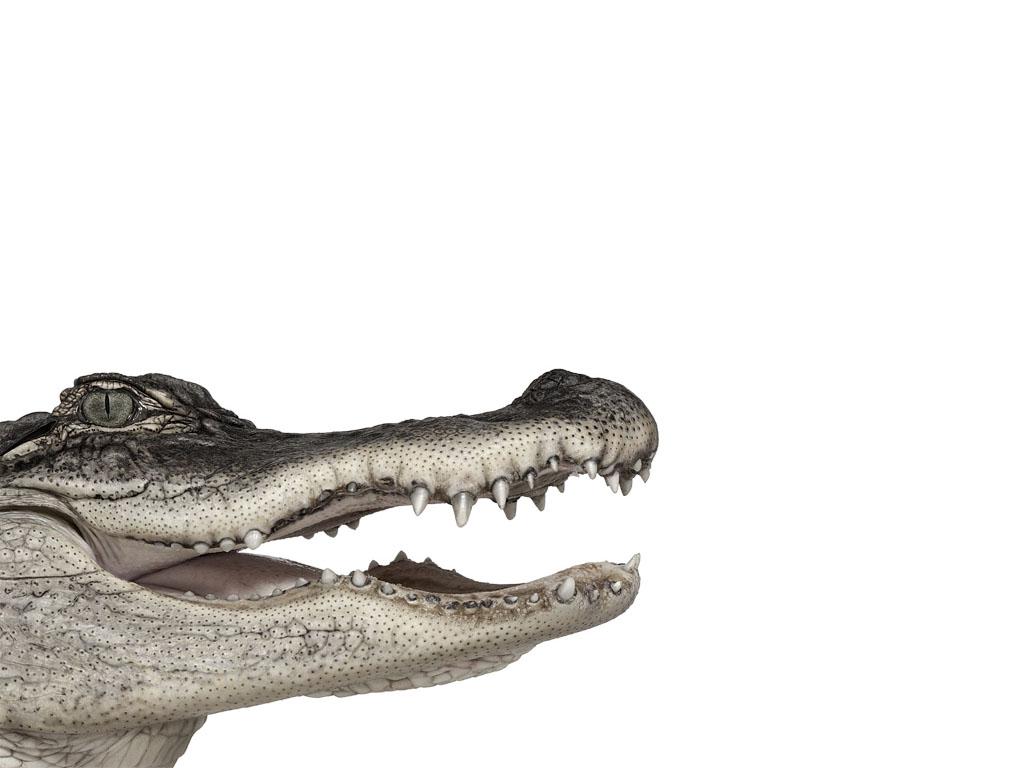 Крокодил обои