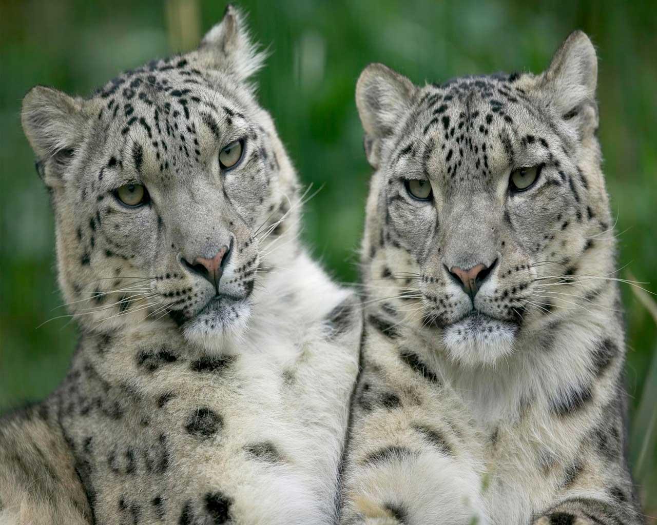 Белые тигры на компьютер обои