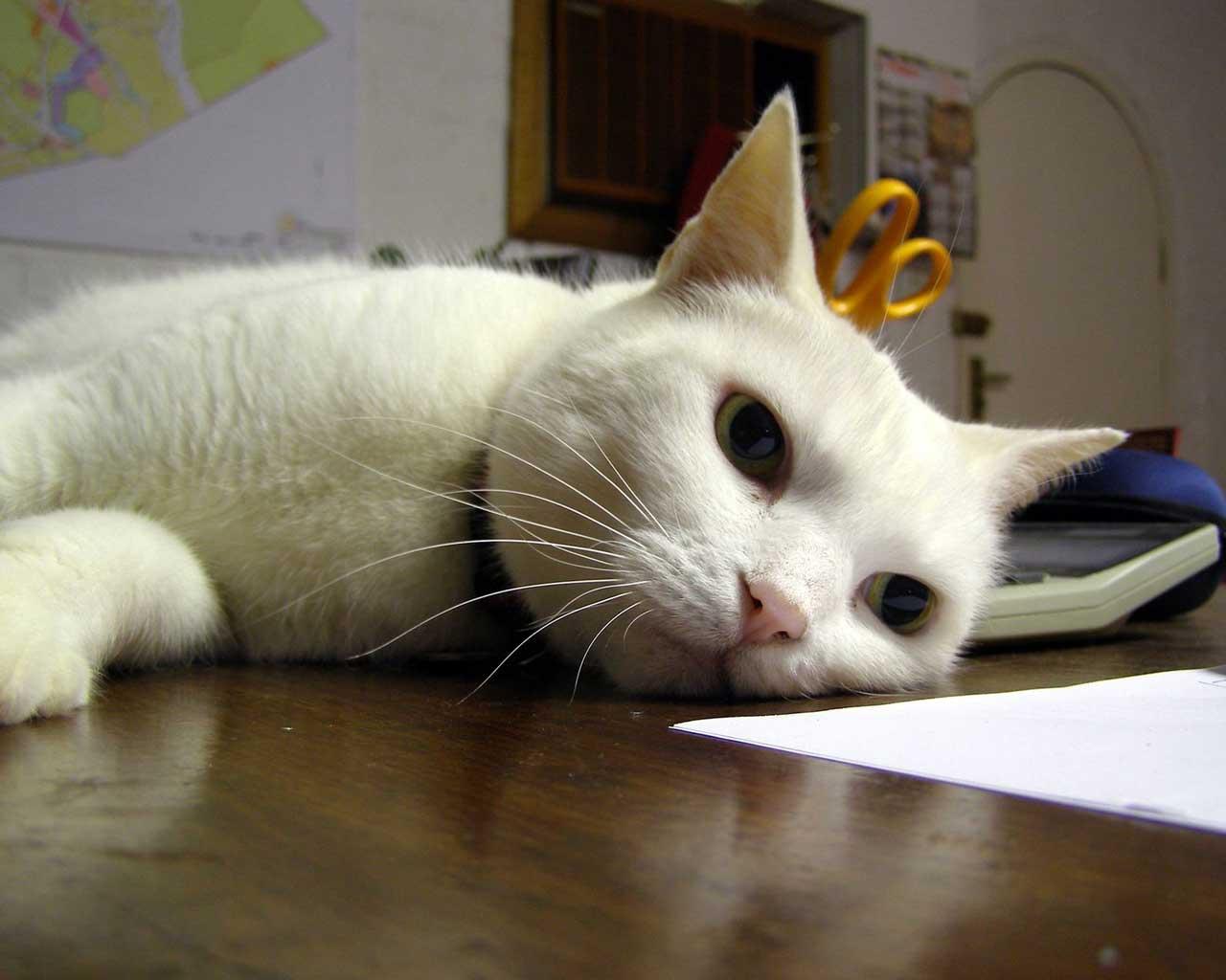 Картинка белый кот на компьютер обои