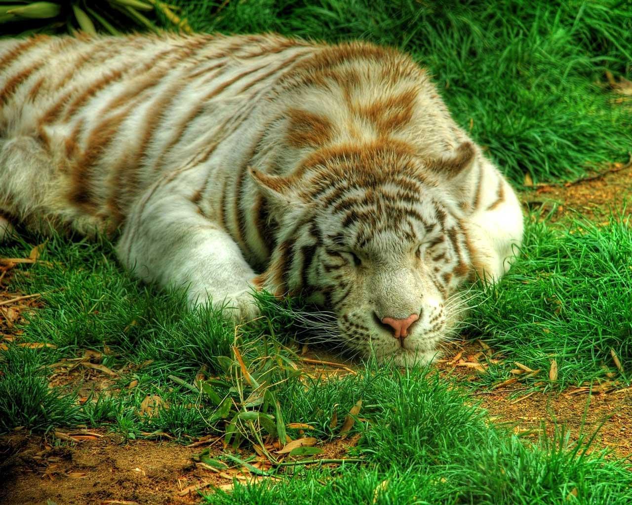 Картинка персидский тигр на компьютер обои