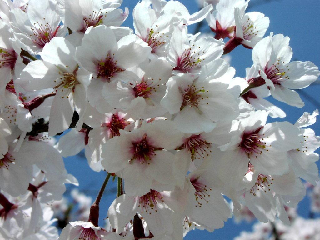 Цветущая сакура лучшие обои