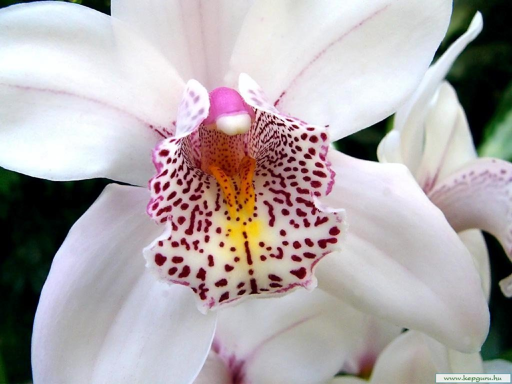 Белая орхидея обои