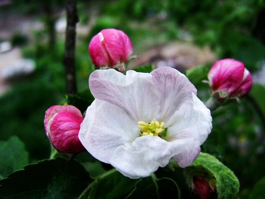 Яблоневый цвет обои