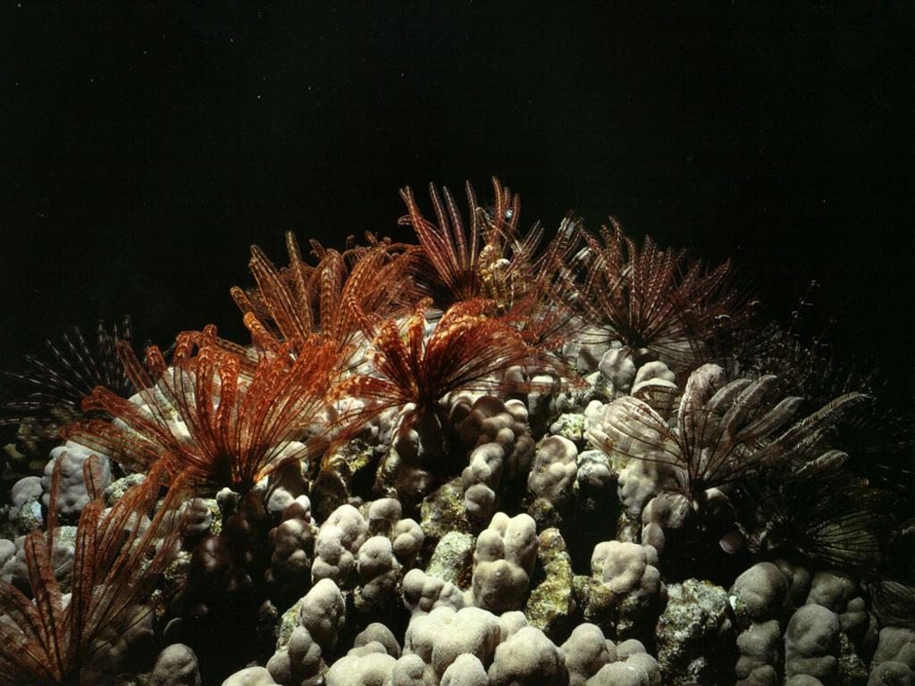 Коралл обои