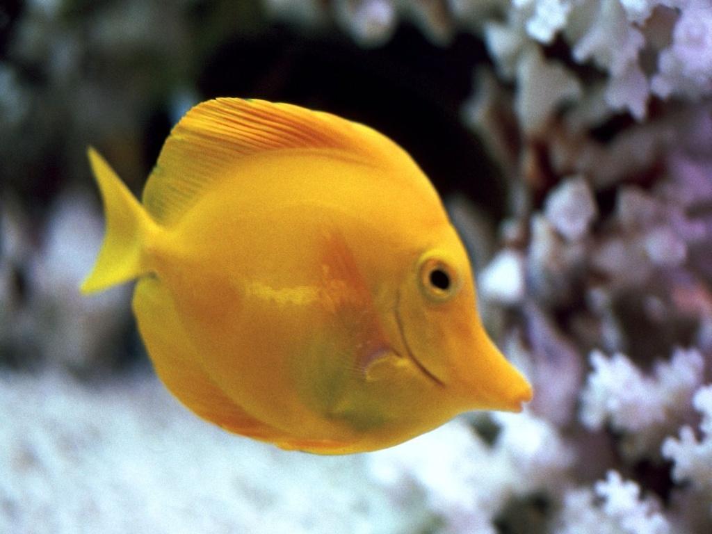 Желтая рыбка обои