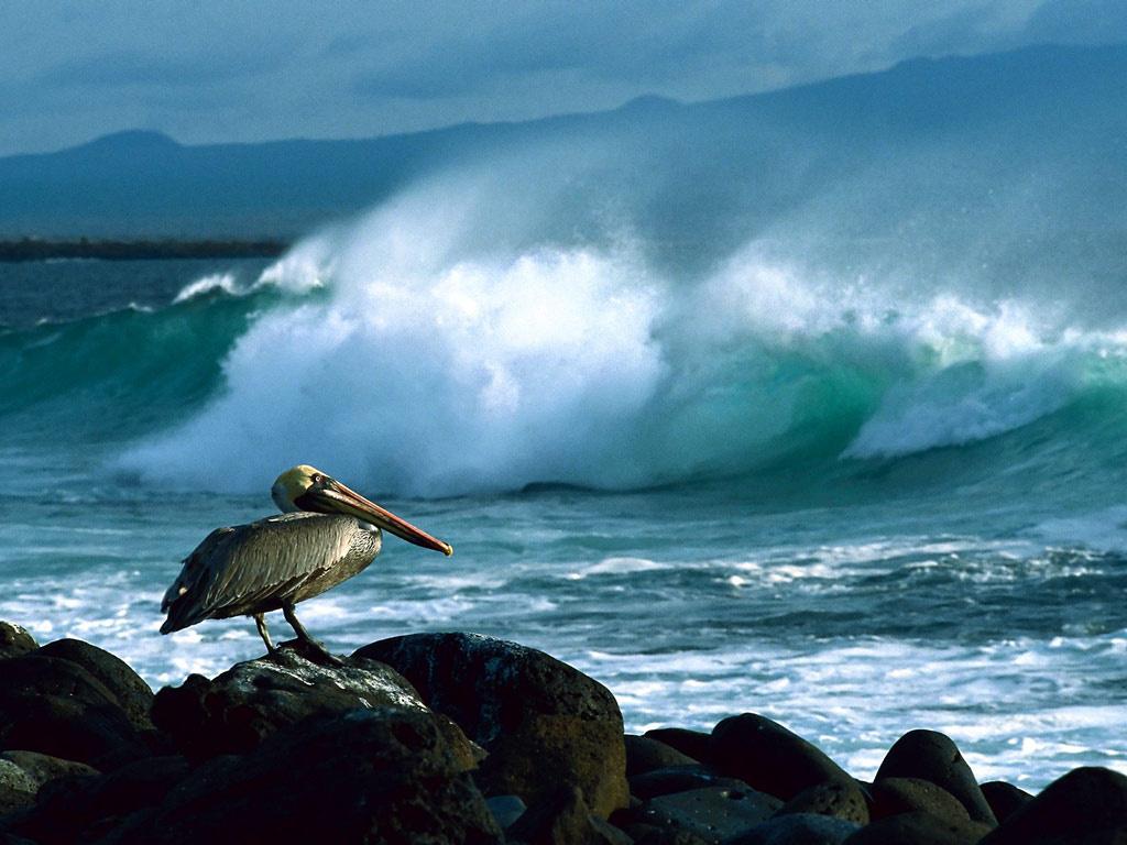 Бурый пеликан обои