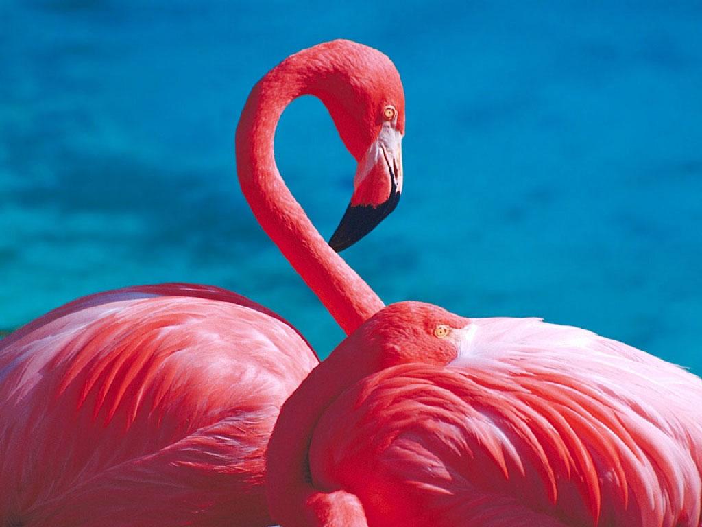 Фламинго обои