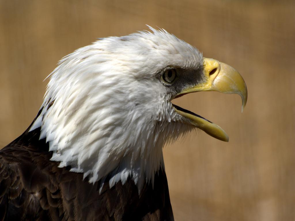 Белоголовый орел обои