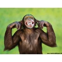 Шимпанзе обои (2 шт.)