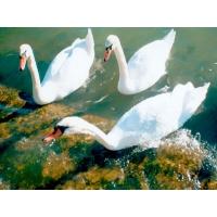 Лебеди обои (13 шт.)
