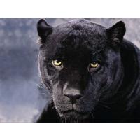Пантеры обои (10 шт.)