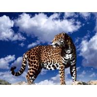 Леопарды обои для рабочего стола