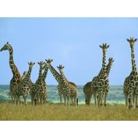 Жирафы обои (8 шт.)