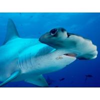 Акулы обои (4 шт.)