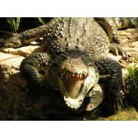 Крокодилы обои (3 шт.)