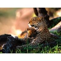 Гепарды обои (12 шт.)