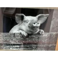Свиньи обои (2 шт.)