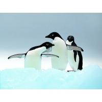 Пингвины обои (35 шт.)