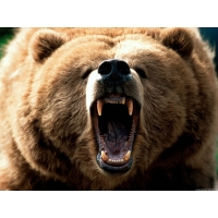 Медведь обои (4 шт.)