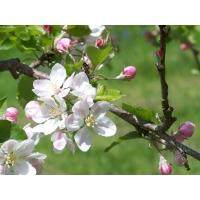 Яблоня обои (4 шт.)