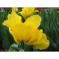 Тюльпаны обои (38 шт.)
