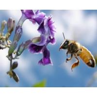 Пчелы обои (2 шт.)