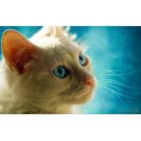 усатый,белый котик, картинки и фоны для рабочего стола windows