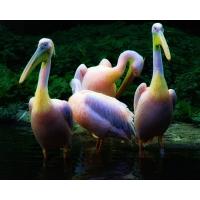 Пеликаны обои (2 шт.)