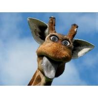 смешной жираф, красивые обои на рабочий стол